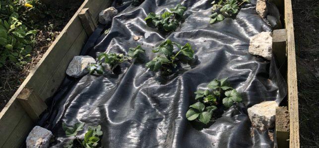 How to grow fresh summer strawberries